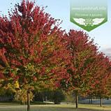 Acer rubrum 'Burgundy Belle', Клен червоний 'Бургунді Бель',Кореневий кому/сітка,250-300см,TG4-6, фото 7