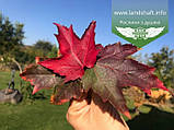 Acer rubrum 'Burgundy Belle', Клен червоний 'Бургунді Бель',Кореневий кому/сітка,250-300см,TG4-6, фото 8
