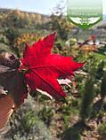 Acer rubrum 'Burgundy Belle', Клен червоний 'Бургунді Бель',Кореневий кому/сітка,250-300см,TG4-6, фото 9