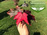 Acer rubrum 'Burgundy Belle', Клен червоний 'Бургунді Бель',Кореневий кому/сітка,250-300см,TG4-6, фото 10