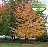 Acer x freemanii 'Sienna Glen', Клен Фрімана 'Сієнна Глен',WRB - ком/сітка,250-300см,TG4-6, фото 8