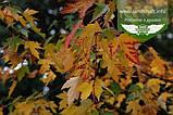 Acer x freemanii 'Sienna Glen', Клен Фрімана 'Сієнна Глен',WRB - ком/сітка,250-300см,TG4-6, фото 9