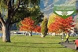 Acer x freemanii 'Sienna Glen', Клен Фрімана 'Сієнна Глен',WRB - ком/сітка,250-300см,TG4-6, фото 10