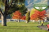 Acer x freemanii 'Sienna Glen', Клен Фрімана 'Сієнна Глен',WRB - ком/сітка,Напівштамб,TG6-8,200-250см, фото 10