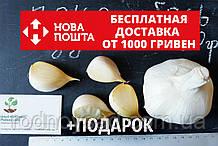 Рокамболь испанский зубки 10-30 грамм(10 штук) (слоновий чеснок семена) гигантский лук-чеснок, насіння часнику