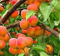 Саженцы абрикоса Любава (двухлетний)