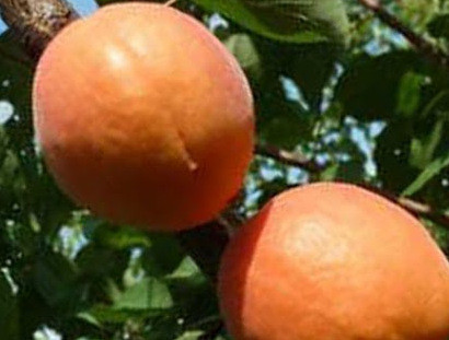 Саженцы абрикоса Фарбели (двухлетний)