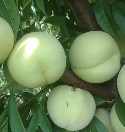 Саджанці персика Айс Піч, фото 2