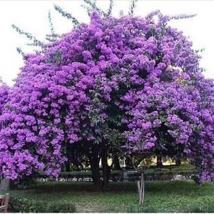 Павловния или Адамовое дерево (Paulownia)
