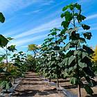 Павловния или Адамовое дерево (Paulownia), фото 2