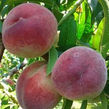 Персик сорт Лісостеповій