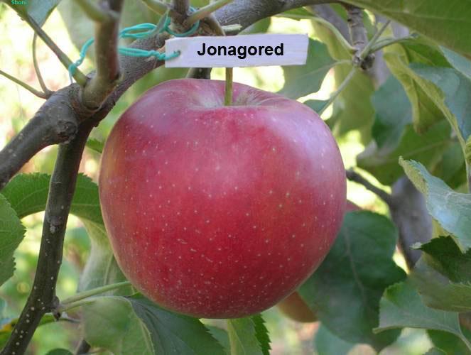 Саженцы яблони Джонагоред супра