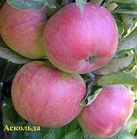 Саженцы яблони Аскольд