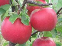 Саженцы яблони Богемия