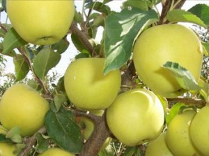 Саджанці яблуні Голден Резистент