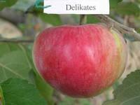 Саженцы яблони Деликатес