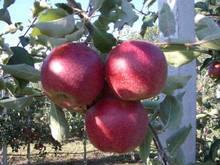 Саджанці яблуні Джонагоред