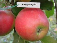 Саджанці яблуні Кінг Джонаголд