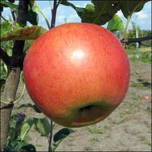 Саженцы яблони Любава
