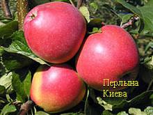 Саджанці яблуні Перлина Києва