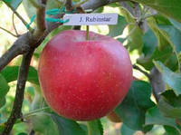 Саженцы яблони Рубинстар