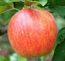 Саджанці яблуні Целесті