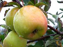 Саджанці яблуні Місяць Голд