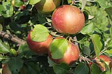 Саджанці яблуні Сіріус Голд