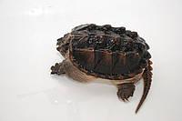 Элитная Каймановая черепаха Снеппер