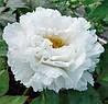 Пион древовидный белый (семена 3шт)