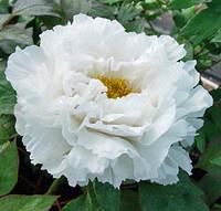 Пион древовидный белый (семена 3шт), фото 1