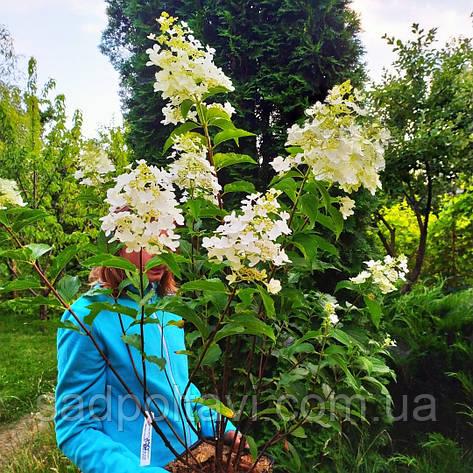 Ароматная Гортензія метельчата Доллі (Hydrangea paniculata Dolly) в конт.5л, фото 2