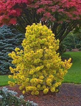 Pinus sylvestris Gold Coin