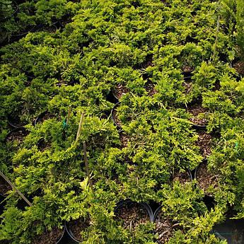 Juniperus horizontalis Golden Carpet