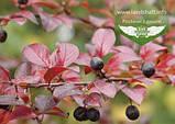 Cotoneaster lucidus, Кизильник блискучий,C2 - горщик 2л, фото 5