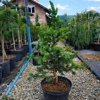 Picea omorika Wodan