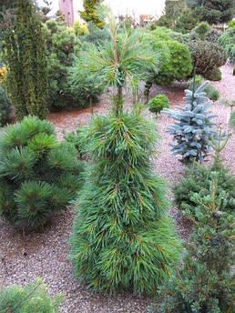 Pinus stobus Niagara Falls