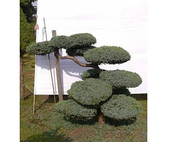 Juniperus Hetz Bonsai