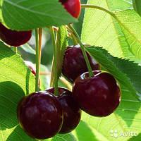Саженцы вишни Балатон (однолетний)