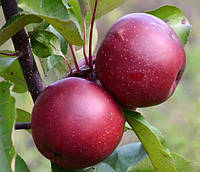 Саженцы красномясой яблони  Байя Мариса (двухлетний)