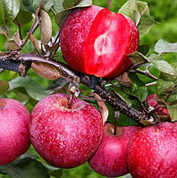 Саженцы красномясой яблони Сирена (двухлетний)