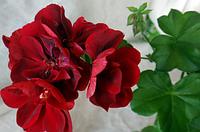 Пеларгония плющелистная Atlantic Red Velvet (14п)