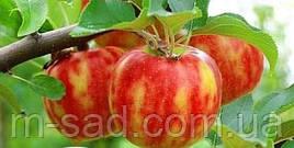 """Двухцветная яблоня """"КАРНАВЕЛ"""" (Karnavel)"""