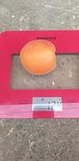 Абрикос Биг Ред (новинка,вкусные сочные,крупные)2хлетка, фото 3