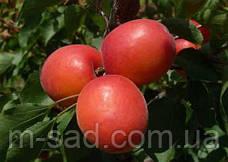 Абрикос Приция (сверхранний, самоплодный сорт), фото 2