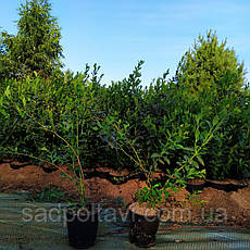 Эллиот саженцы голубики 3х летние, фото 2