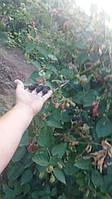 Саджанці ожини Натчез - середньо-рання. 1 і 2-річні саджанці