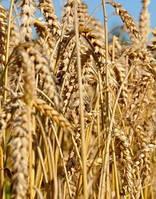 """Семена озимой пшеницы КАН (элита), урожай 2020. Агрофирма """"Сады Украины"""""""
