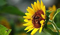 Семена подсолнечника Пионер гибрид PR64A89
