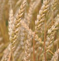 """Семена озимой пшеницы ОРЛЕАН (элита), урожай 2020. Агрофирма """"Сады Украины"""""""